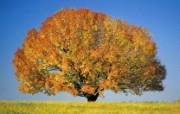 生命的绽放 植物花卉壁纸精选 第一辑 Colorful Maple Tree 秋天的枫树图片壁纸 生命的绽放植物花卉壁纸精选 第一辑 花卉壁纸