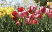 生命的绽放 植物花卉壁纸精选 第一辑 Colorful Tulips 郁金香图片壁纸 生命的绽放植物花卉壁纸精选 第一辑 花卉壁纸