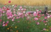 生命的绽放 植物花卉壁纸精选 第一辑 Colorful Wildflowers 大波斯菊图片壁纸 生命的绽放植物花卉壁纸精选 第一辑 花卉壁纸