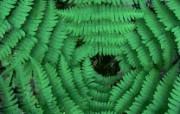 生命的绽放 植物花卉壁纸精选 第一辑 Converging Ferns 蕨草图片壁纸 生命的绽放植物花卉壁纸精选 第一辑 花卉壁纸