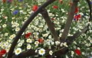 生命的绽放 植物花卉壁纸精选 第一辑 Corn Chamomile Poppies and Cornflowers 甘菊 罂粟花和矢车菊图片壁纸 生命的绽放植物花卉壁纸精选 第一辑 花卉壁纸