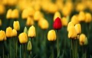 生命的绽放 植物花卉壁纸精选 第一辑 One of a Kind 郁金香图片壁纸 生命的绽放植物花卉壁纸精选 第一辑 花卉壁纸