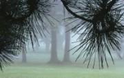 生命的绽放 植物花卉壁纸精选 第一辑 Evergreens in Morning Fog 晨雾中的松树图片壁纸 生命的绽放植物花卉壁纸精选 第一辑 花卉壁纸