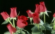 生命的绽放 植物花卉壁纸精选 第一辑 Red Roses 红玫瑰图片壁纸 生命的绽放植物花卉壁纸精选 第一辑 花卉壁纸