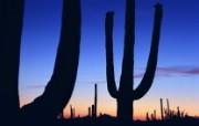 生命的绽放 植物花卉壁纸精选 第一辑 Saguaro at Sunset 日落中的仙人掌图片壁纸 生命的绽放植物花卉壁纸精选 第一辑 花卉壁纸