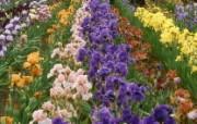 生命的绽放 植物花卉壁纸精选 第一辑 Iris Farm 鸢尾图片壁纸 生命的绽放植物花卉壁纸精选 第一辑 花卉壁纸