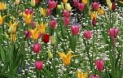 生命的绽放 植物花卉壁纸精选 第一辑 Lily Tulips Among White Cornflowers Butchart Gardens Victoria British Columbia 百合和郁金香图片壁纸 生命的绽放植物花卉壁纸精选 第一辑 花卉壁纸