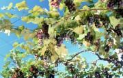 葡萄 1 19 葡萄 花卉壁纸