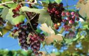葡萄 1 13 葡萄 花卉壁纸
