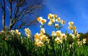 花卉摄影系列 水仙花 水仙花图片壁纸 Narcissus flower Desktop wallpaper 水仙花壁纸 花卉壁纸