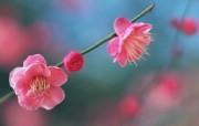 桃花朵朵开桃花摄影壁纸一 花卉壁纸