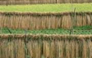 田野麦浪 4 20 田野麦浪 花卉壁纸