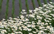 田野麦浪 4 14 田野麦浪 花卉壁纸