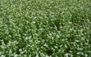 田野麦浪 4 10 田野麦浪 花卉壁纸
