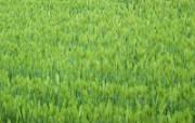 田野麦浪 4 8 田野麦浪 花卉壁纸