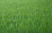 田野麦浪 4 7 田野麦浪 花卉壁纸