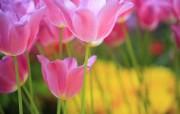 个人花卉摄影 郁金香 粉红色郁金香壁纸Tulip Flower Desktop wallpaper Tulip 郁金香壁纸 花卉壁纸