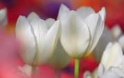 个人花卉摄影 郁金香 白色郁金香 白郁金香Tulip Flower Desktop wallpaper Tulip 郁金香壁纸 花卉壁纸