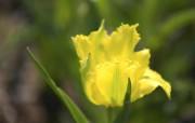 个人花卉摄影 郁金香 黄色郁金香的图片壁纸Tulip Flower Desktop wallpaper Tulip 郁金香壁纸 花卉壁纸