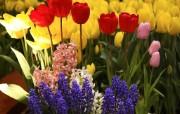 个人花卉摄影 郁金香 郁金香花园Tulip Flower Desktop wallpaper Tulip 郁金香壁纸 花卉壁纸