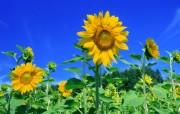 向日葵壁纸 壁纸1 向日葵壁纸 花卉壁纸