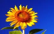 向日葵壁纸 壁纸3 向日葵壁纸 花卉壁纸