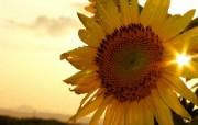 向日葵壁纸 壁纸6 向日葵壁纸 花卉壁纸