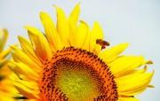 向日葵壁纸 壁纸10 向日葵壁纸 花卉壁纸