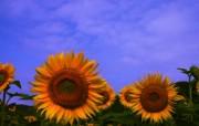 向日葵壁纸 壁纸11 向日葵壁纸 花卉壁纸