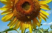 向日葵壁纸 壁纸13 向日葵壁纸 花卉壁纸