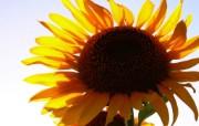 向日葵壁纸 壁纸15 向日葵壁纸 花卉壁纸