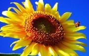 向日葵壁纸 壁纸16 向日葵壁纸 花卉壁纸