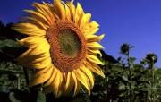向日葵壁纸 壁纸24 向日葵壁纸 花卉壁纸