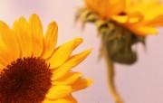 向日葵壁纸 壁纸28 向日葵壁纸 花卉壁纸