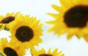 向日葵壁纸 壁纸29 向日葵壁纸 花卉壁纸