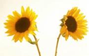 向日葵壁纸 壁纸30 向日葵壁纸 花卉壁纸
