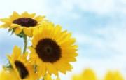 向日葵壁纸 壁纸31 向日葵壁纸 花卉壁纸
