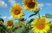 向日葵图片 sunflower Desktop Wallpaper 向日葵壁纸 花卉壁纸