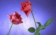 鲜花特写 12 17 鲜花特写 花卉壁纸