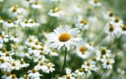 白色花朵 1 19 白色花朵 花卉壁纸