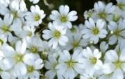 白色花朵 1 18 白色花朵 花卉壁纸