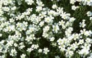 白色花朵 1 17 白色花朵 花卉壁纸