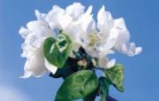 白色花朵 1 14 白色花朵 花卉壁纸