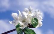 白色花朵 1 13 白色花朵 花卉壁纸