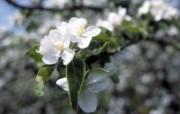 白色花朵 1 10 白色花朵 花卉壁纸