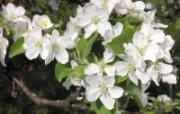 白色花朵 1 9 白色花朵 花卉壁纸