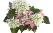白色花朵 1 8 白色花朵 花卉壁纸