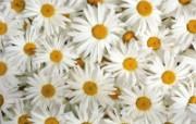 白色花朵 1 4 白色花朵 花卉壁纸
