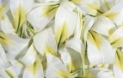 白色花朵 1 3 白色花朵 花卉壁纸