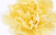 母亲节康乃馨 1 15 母亲节康乃馨 花卉壁纸